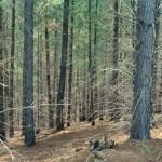 Pine Plantation, Victoria